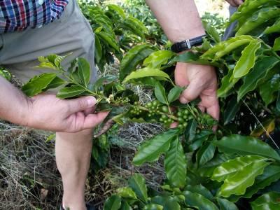 Kaffee-Manufaktur Lehle Kaffebohnen Kaffebohnenpflanze