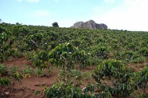 Kaffee-Manufaktur Lehle Kaffebohnen Kaffebohnenplantage Brasilien