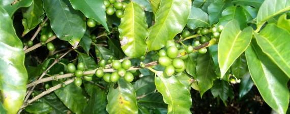 Kaffee-Manufaktur Lehle - Kaffebohnenstrauch