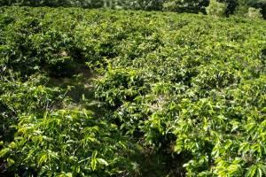 Kaffee-Manufaktur Lehle Kaffebohnen Plantage