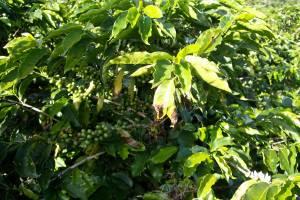 Kaffee-Manufaktur Lehle Kaffebohnen Strauch